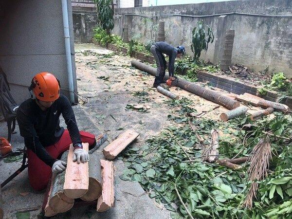 椰子樹移除